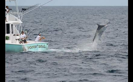Blue marlin can and will take any old bait